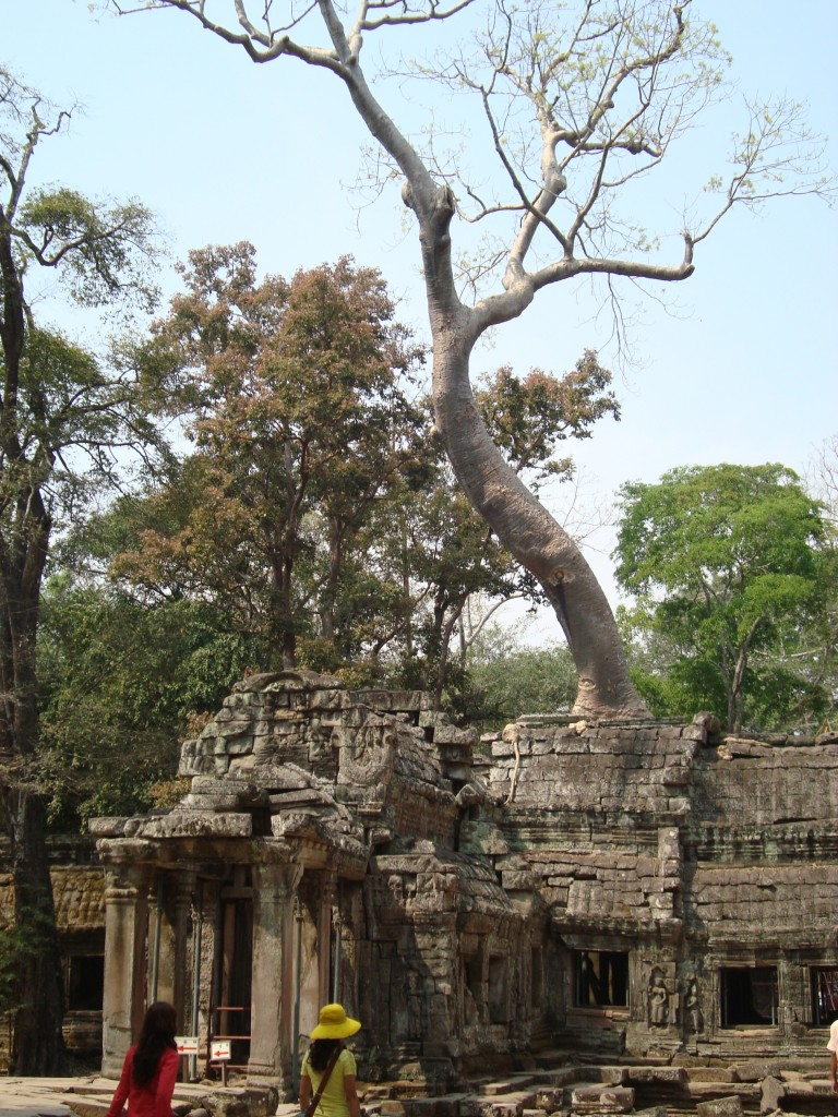 Large tree growing out of the ruins at Ta Phrom